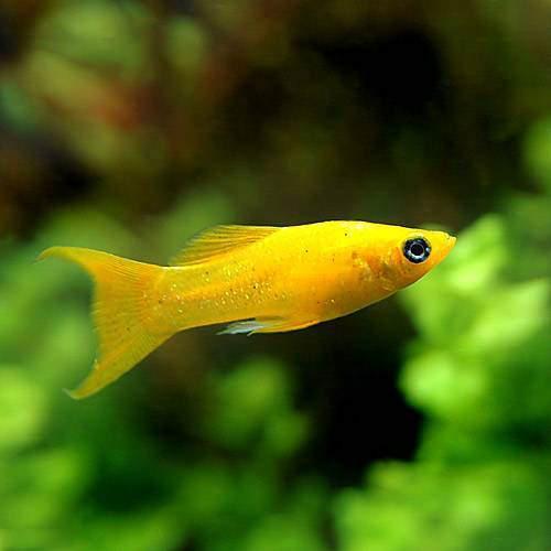 熱帯魚 モーリー