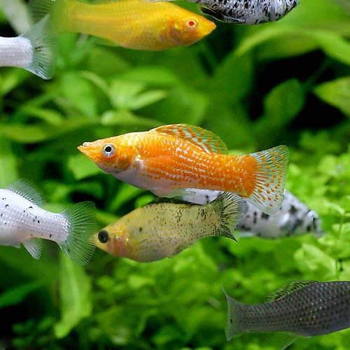 熱帯魚のモーリー