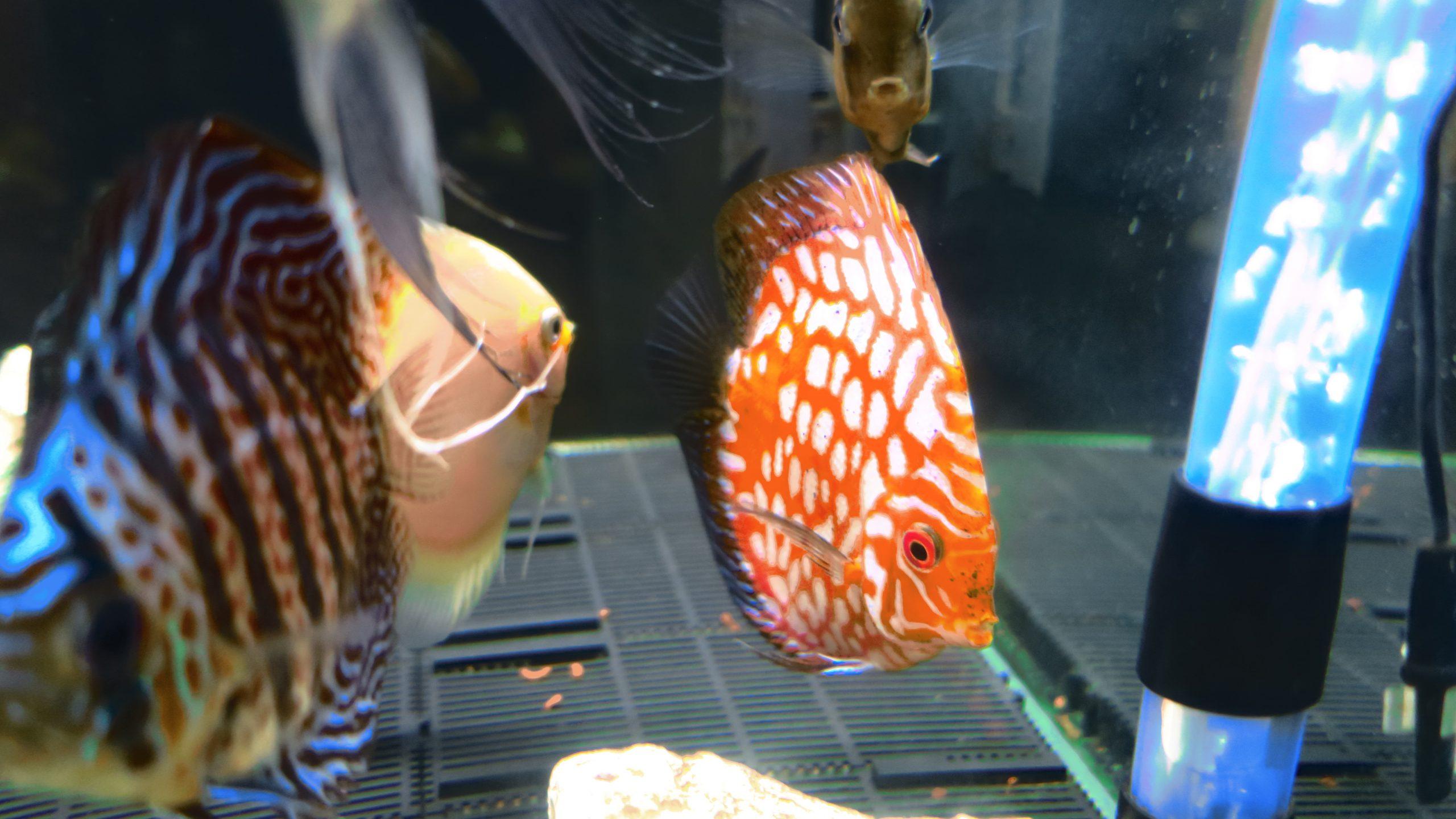 6匹目 熱帯魚の王様ディスカスの紹介と飼育準備!